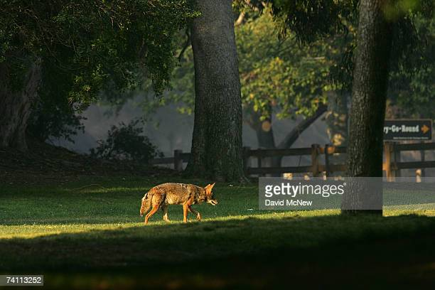 A coyote walks through Griffith Park the nation's largest urban park after fleeing flames on May 9 2007 in Los Angeles California The Griffith...
