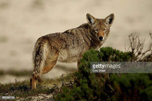 A coyote walks through the sand dunes during the first round of the ATT Pebble Beach National ProAm at at the Spyglass Hill Golf Course on February...