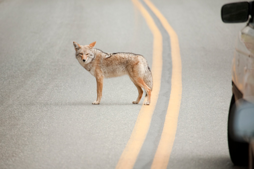 Coyote while crossing the street 119883682