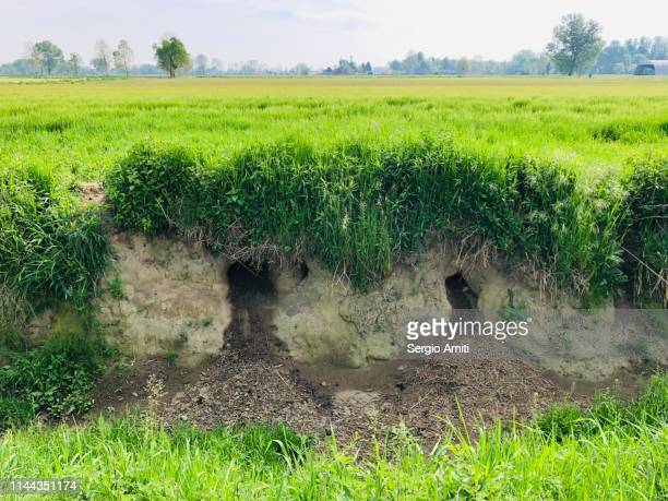 coypu burrows - nutria foto e immagini stock