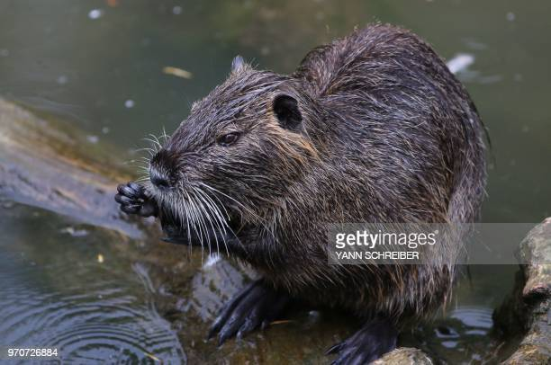 A coypu is pictured in a park in Frankfurt am Main western Germany on June 9 2018