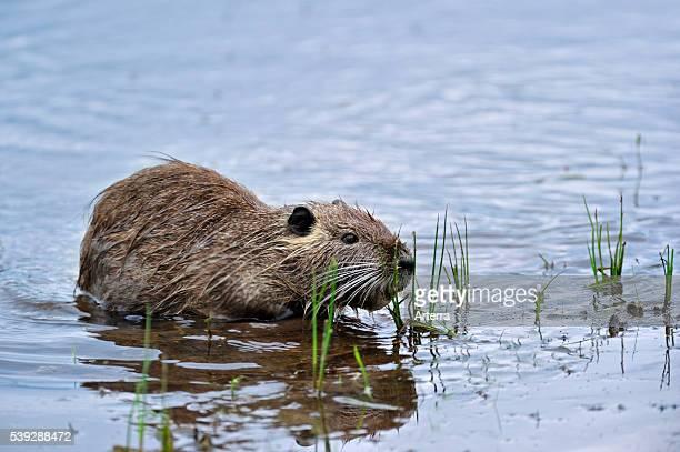Coypu / nutria eating grass in water La Brenne France Originally native to South America
