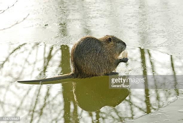 coypu or nutria, myocastor coypus, on frozen river feeding, l'isle adam, france - nutria foto e immagini stock