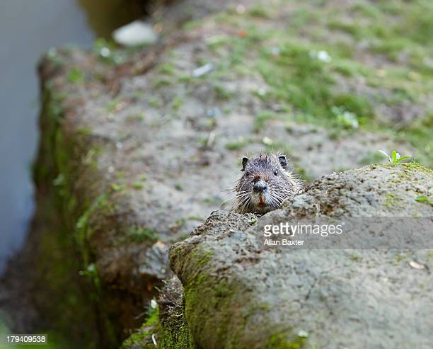 Coypu peeking over riverbank in Bordeaux