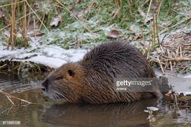 Coypu / river rat / nutria native to South America foraging along river bank in winter