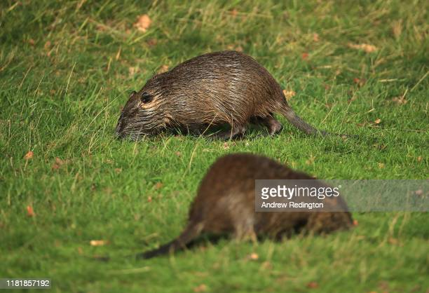 Coypu's are pictured on course during Day two of the Open de France at Le Golf National on October 18 2019 in Paris France
