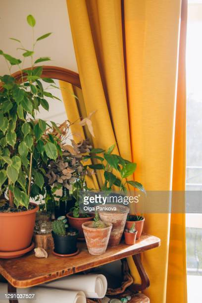 cozy home place with indoor plants. wooden shelf with clay pots on the background of a window with yellow curtains. cacti, succulents and green plants. hobby concept. floriculture. cozy home mood. - bicolore colore foto e immagini stock