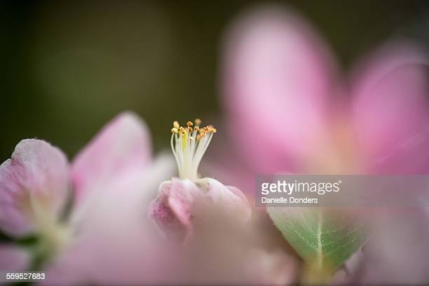 Crab apple blossom stamen, anther and style