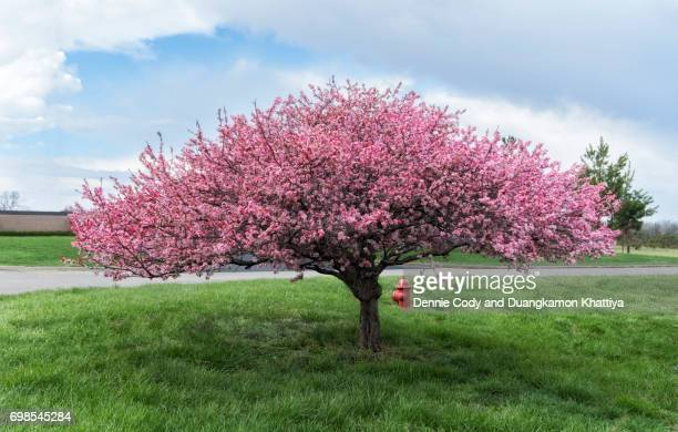 Crab apple tree stock photos and pictures getty images crab apple tree in bloom with pink flowers on green grass mightylinksfo
