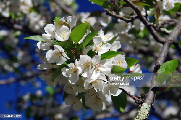 crab apple tree in blossom - crab apple tree stock pictures, royalty-free photos & images