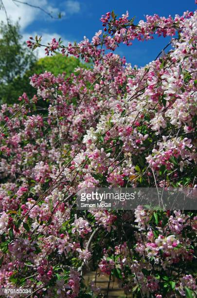 crab apple tree in springtime bloom - crab apple tree stock pictures, royalty-free photos & images