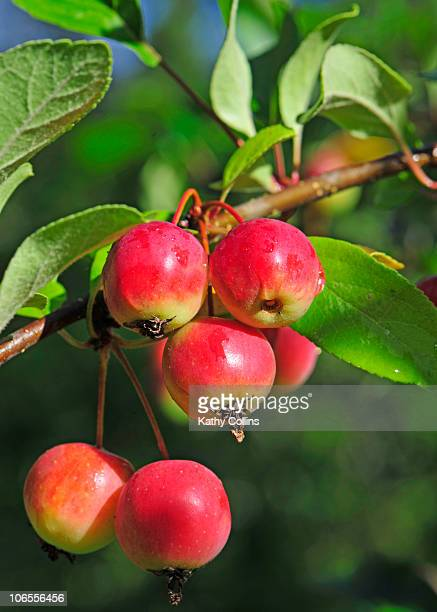 Crab apples growing on a tree