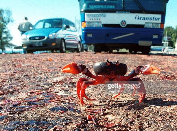 A crab attempts to cross the highway at Giron Beach March 24 2001 at the Bay of Pigs 150 kilometers south of Havana Cuba Crabs are a major...