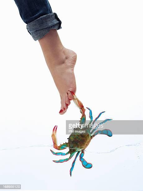 Crab biting woman's toe