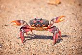 Crab close up, Cuba