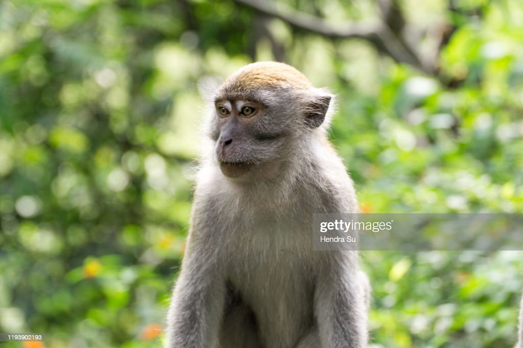 Crab eating macaque also known as long tailed macaque : Stock Photo