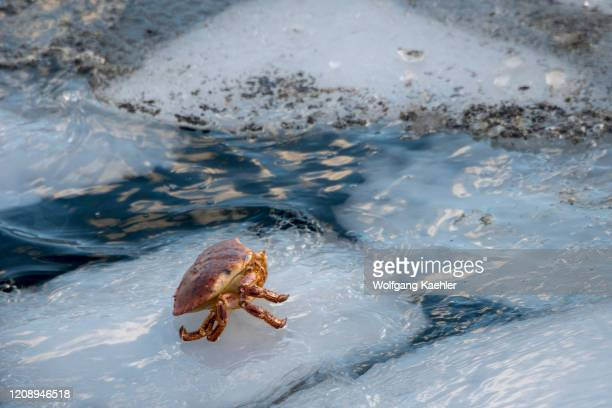 Crab is sitting on an ice floe in a bay at Sildpollnes Sjocamp near Svolvaer on Austvag Island in the Lofoten Islands, Nordland County, Norway.