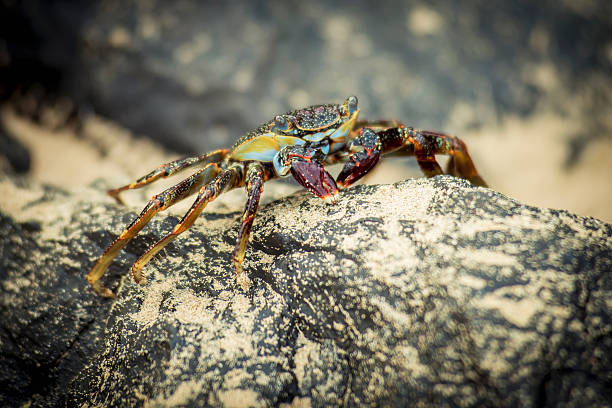 Crab On A Rock In Praia Sancho Wall Art