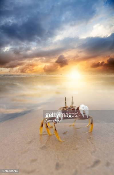 crab on beach - crab stock photos and pictures