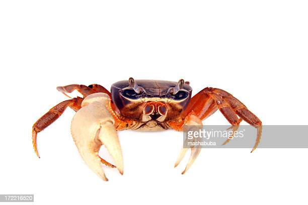 crab - crab stock pictures, royalty-free photos & images
