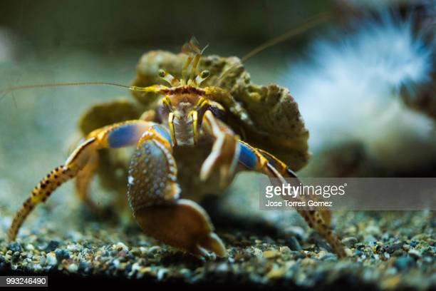 crab - coconut crab stock pictures, royalty-free photos & images