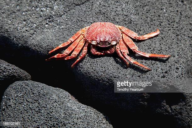 crab resting on lava rock - timothy hearsum stock-fotos und bilder