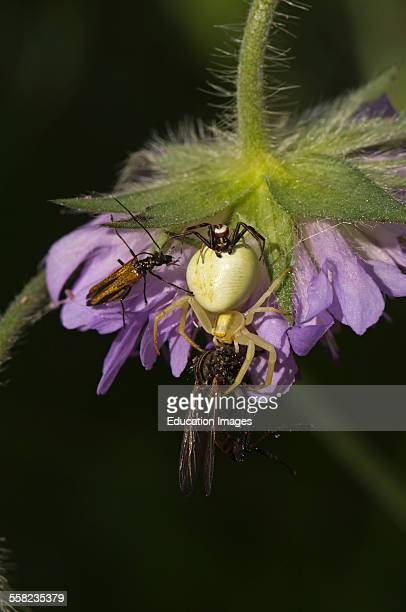 Crab Spider Misumena vatia Male female and pray Gillsattra Oland Sweden