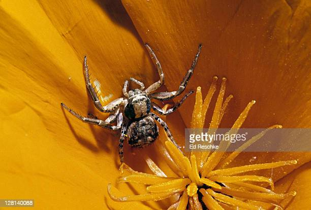 crab spider on california poppy. eyes on cephalotherax are clearly seen. pedipalps at anterior -- they are not legs - pedipalp stock photos and pictures