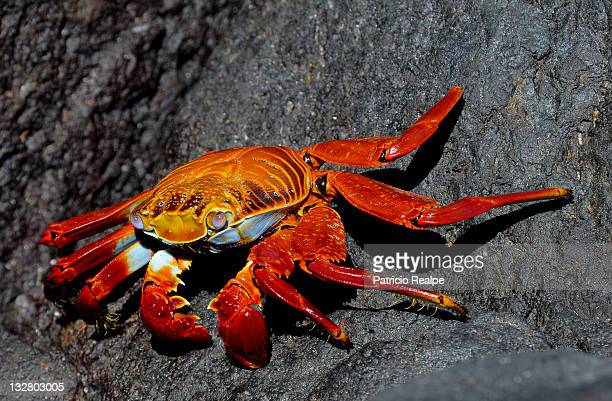 A crab walks on a rock in the Galapagos Islands on November 2011 Galapagos Ecuador The 19 islands that form Galapagos are situated in the Pacific...