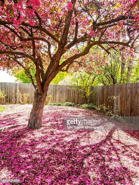 crabapple blossom petals blanket ground under tree - crab apple tree stock pictures, royalty-free photos & images