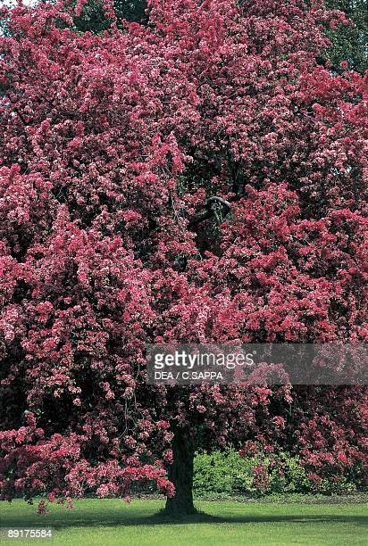 Crab apple tree stock photos and pictures getty images crabapple tree in a garden mightylinksfo