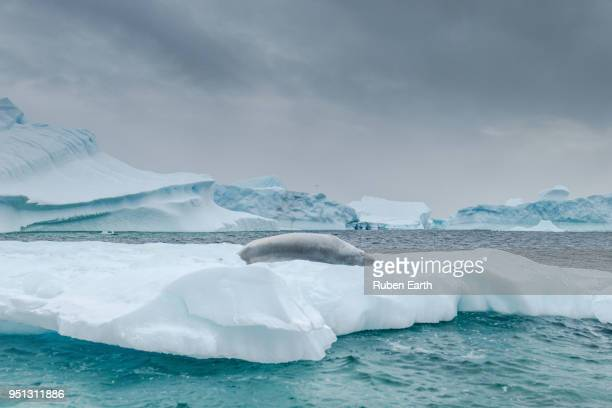 crabeater seal laying on an iceberg in antarctica - säugetier stock-fotos und bilder