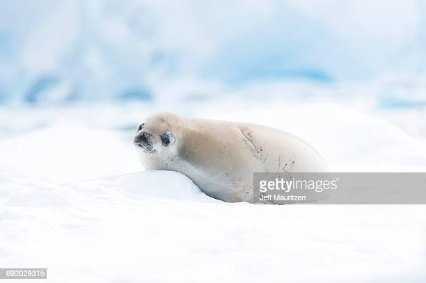 antarctica. - baby seal stock photos and pictures