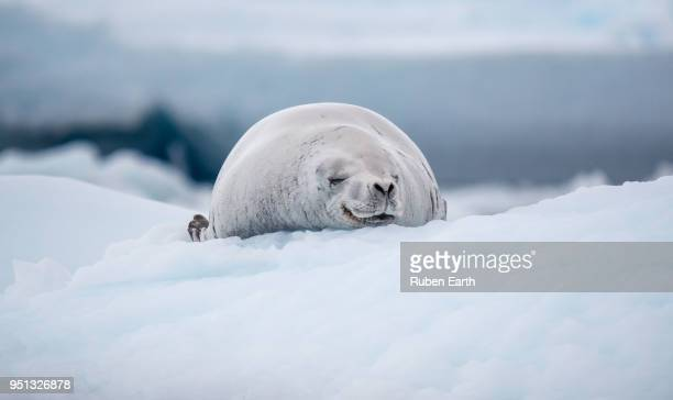 crabeater seal sleeping over the ice in antarctica - seal pup stock photos and pictures