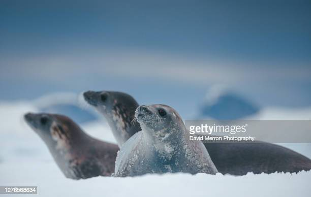 crabeater seals , antarctica - antarctica stock pictures, royalty-free photos & images