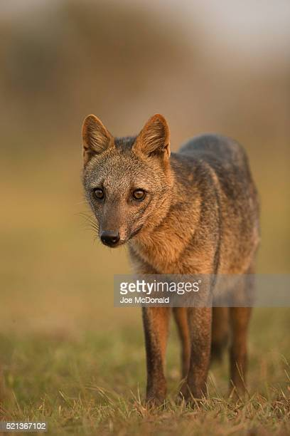 crab-eating fox - mato grosso state stock photos and pictures