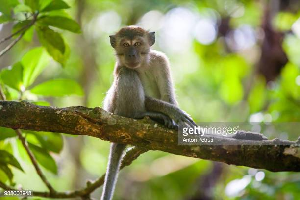 Crab-eating macaque in the jungles of Sumatra. Bukit Lawang