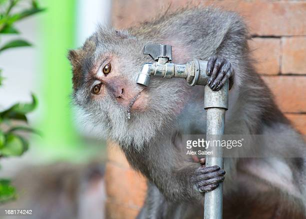 a crab-eating macaque, macaca fascicularis, takes a drink from a pipe. - alex saberi stockfoto's en -beelden