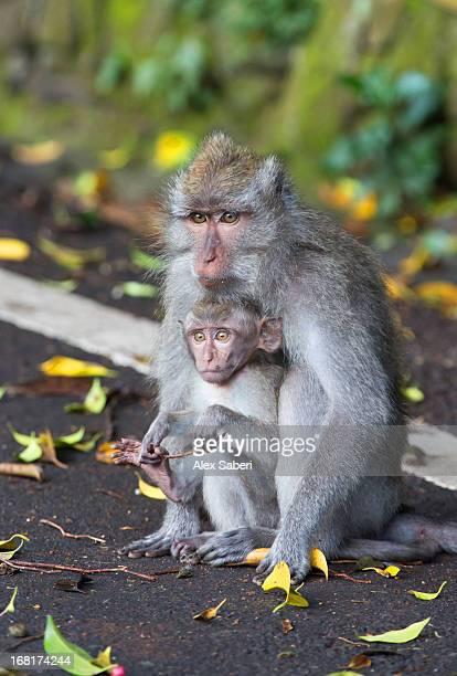 a crab-eating macaque, macaca fascicularis, with her son. - alex saberi stockfoto's en -beelden