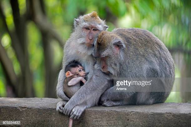 Crabeating macaques Balinese longtailed macaque in the Ubud Sacred Monkey Forest Sanctuary Gianyar regency Bali Indonesia