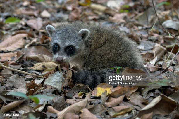 crab-eating raccoon (south american raccoon) - mato grosso state stock pictures, royalty-free photos & images