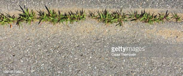 crabgrass growing in cracked pavement - crabgrass stock pictures, royalty-free photos & images