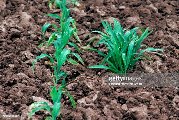 crabgrass growing near young corn plants - crabgrass stock pictures, royalty-free photos & images