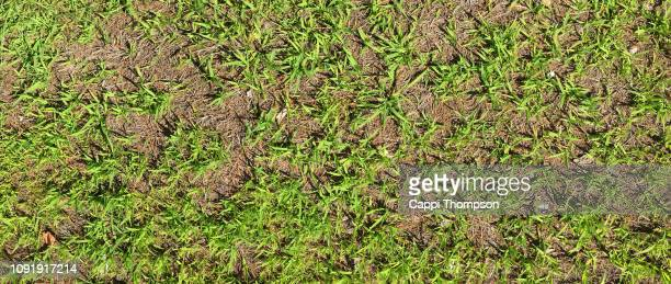 crabgrass infestation in home lawn - crabgrass stock pictures, royalty-free photos & images