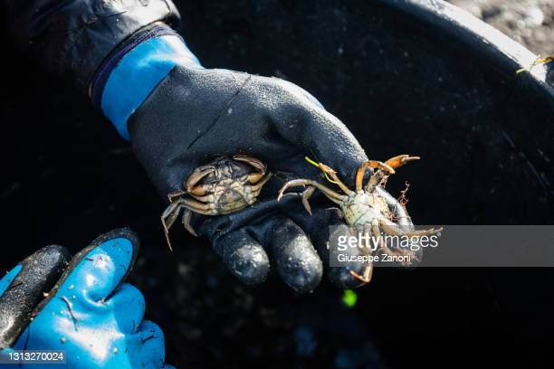 crabs - orbetello bildbanksfoton och bilder