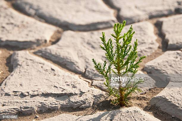 cracked earth - sapling stock photos and pictures