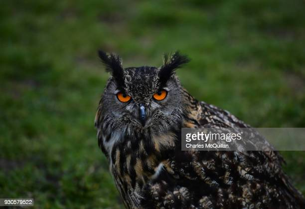 'Cracker' a European eagle owl from the Northern Ireland school of falconry keeps a close eye as the reenactment of Saint Patrick's first landing in...