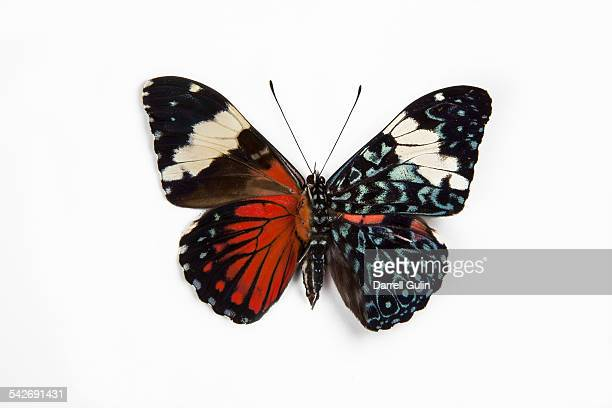Cracker Tropical Butterfly Hamadryas amphinome