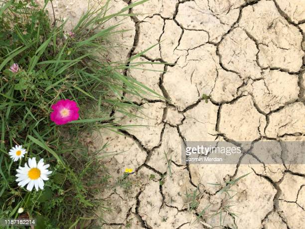 cracks on surface and fresh green grass with flowers - dry stock pictures, royalty-free photos & images