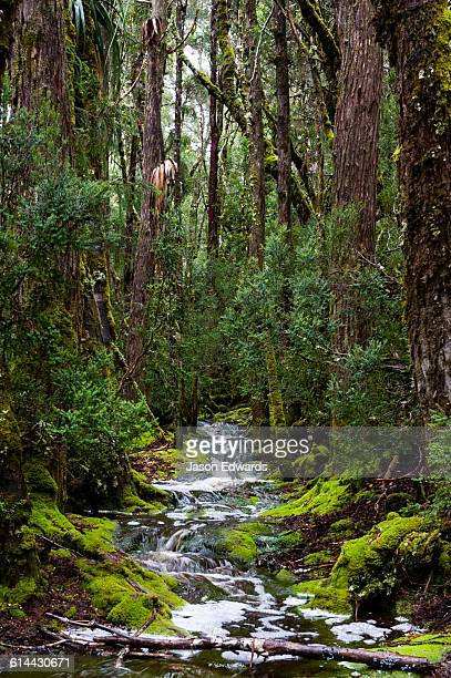 During a heavy rainstorm water pours down a walking trail through a cool temperate rainforest.